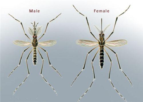Nhận biết muỗi đực và muỗi cái